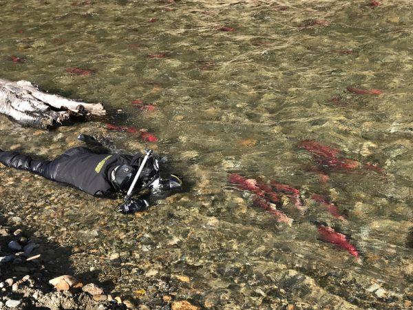 冰冷溪流拍鮭魚迴游 吳永森趴30小時痛苦回憶