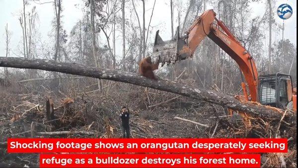 心酸!大猩猩為守「家園」絕望對抗挖掘機(視頻)