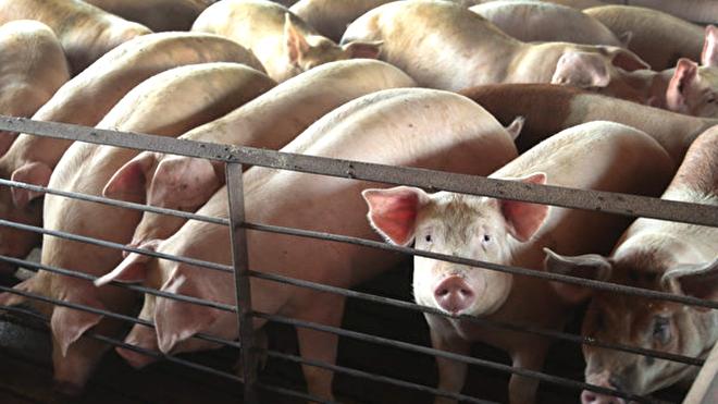 曝光青島河邊傾倒死豬 拍視頻者又「被造謠」?
