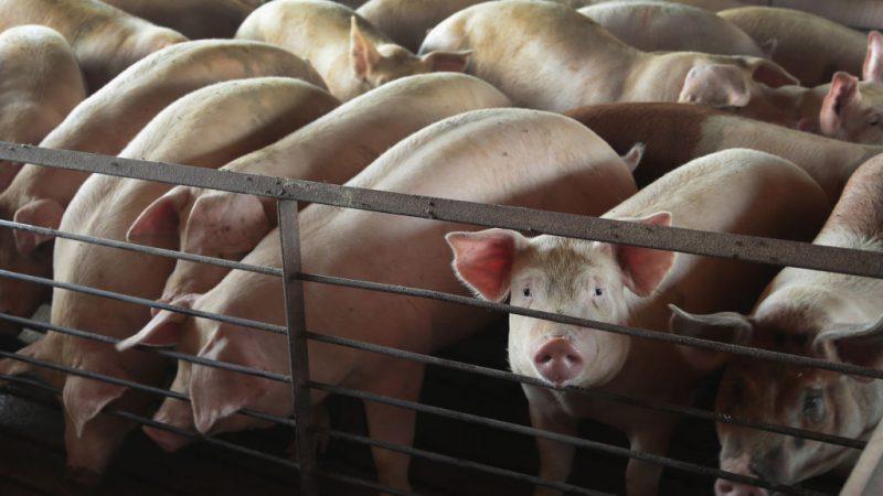 海南省爆发非洲猪瘟疫情 大陆31省全部沦陷