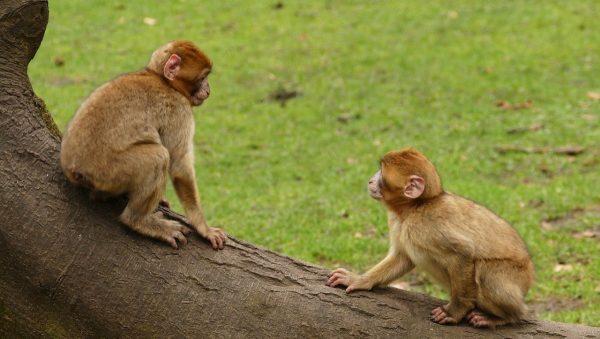 中共科研者将人类基因植入猴脑 科学界哗然