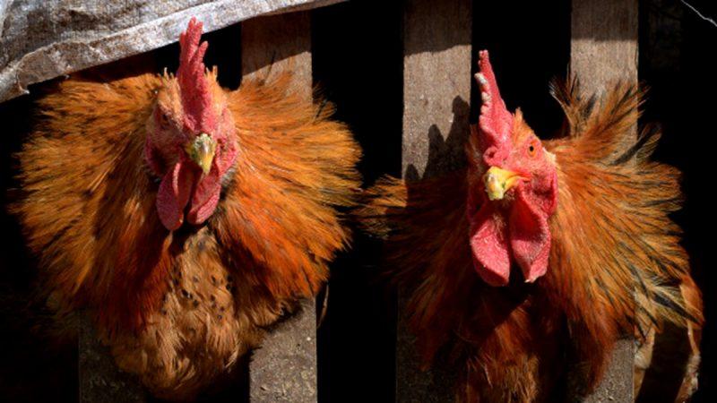 豬瘟未除禽疫再來 遼寧爆發高致病性禽流感