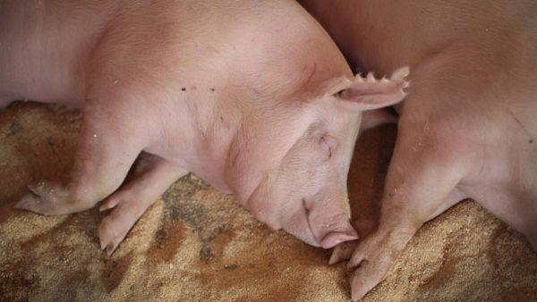 忧非洲猪瘟进美国  2019世界猪肉博览会取消