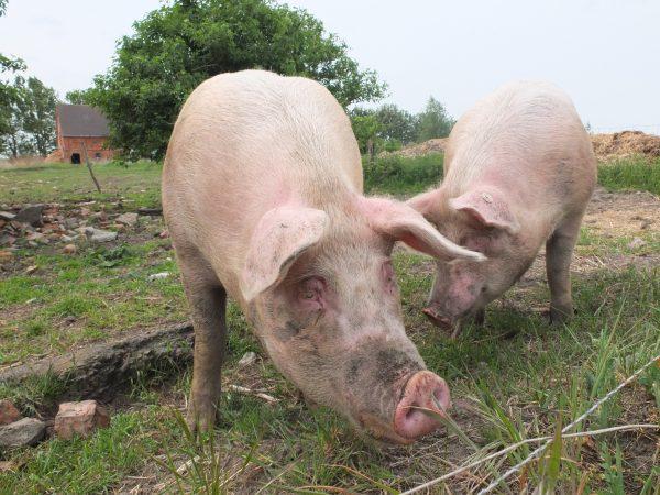 西藏爆发非洲猪瘟  加国边境局拉警报