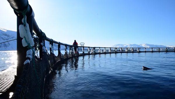 海藻蔓生 挪威养殖鲑鱼损失4万公吨