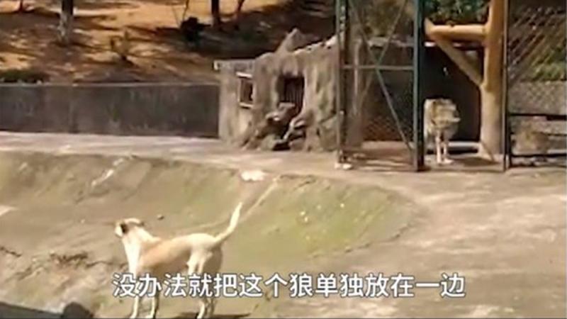"""武汉动物园""""以狗充狼"""" 园方回应是公狼女朋友"""