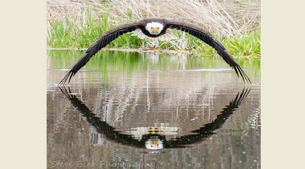 這張白頭海鵰照片拍得太精彩 網友全都看傻