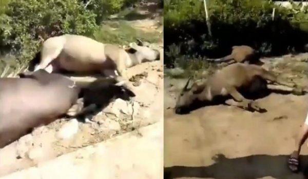 中国非洲猪瘟疫情未解 疑牛瘟爆发影片外流(视频)