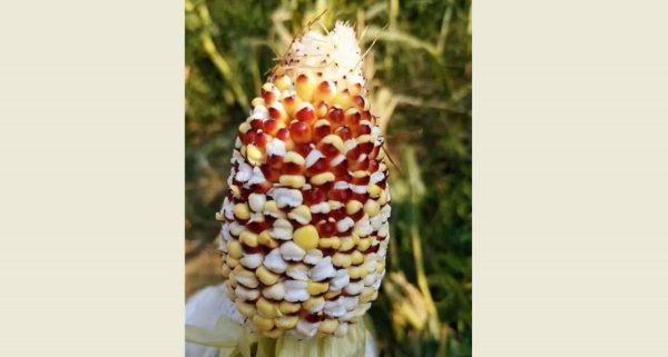 氣溫飆升至40℃  雲南玉米田集體「自爆」成爆米花
