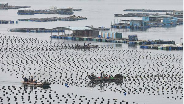 鄭義:中國海水養殖業輝煌悲劇——大家一起死