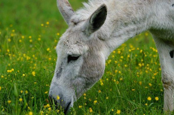 神話傳奇:倒騎驢的張果老