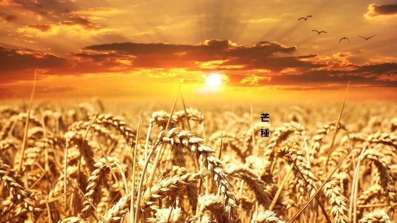 芒种节气农人忙 收麦插秧菱歌长