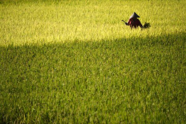 辛苦種稻被偷收割 台南稻農當場傻眼
