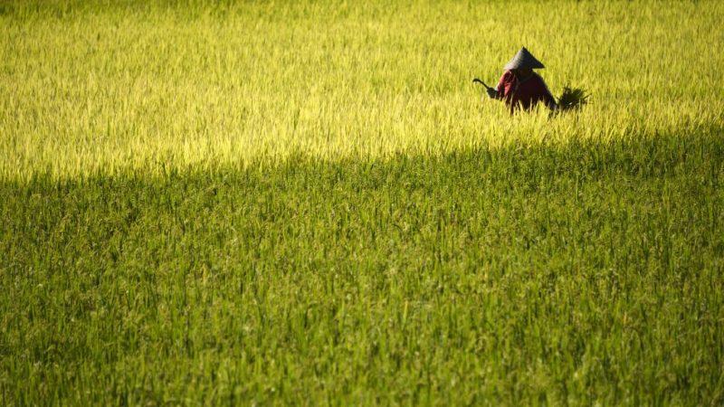 辛苦种稻被偷收割 台南稻农当场傻眼