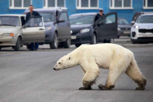 離棲息地數百英里 北極熊在俄北垃圾堆覓食