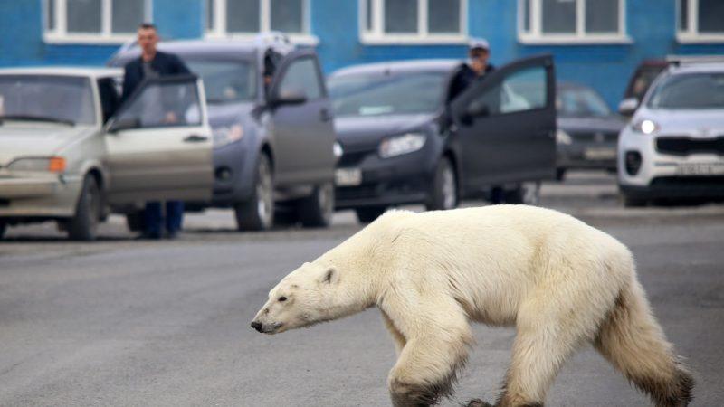离栖息地数百英里 北极熊在俄北垃圾堆觅食