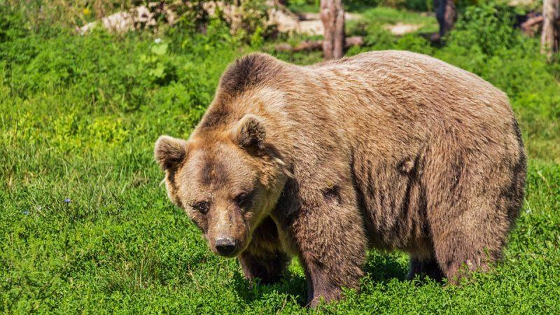 奇闻!被棕熊捉走当储食 男子月余奇迹获救