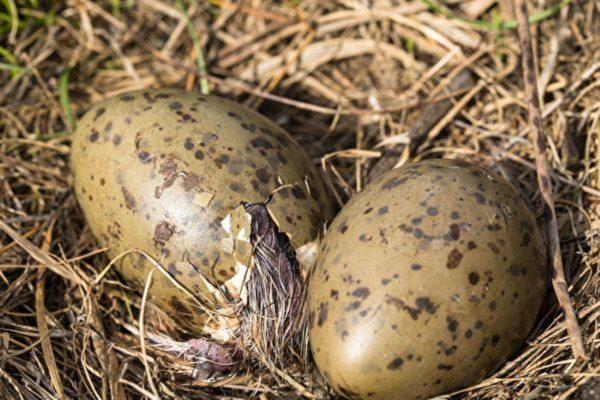 研究:孵化中的胚胎也有感知