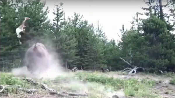 黃石公園野牛衝遊客 9歲女童撞到空中翻滾