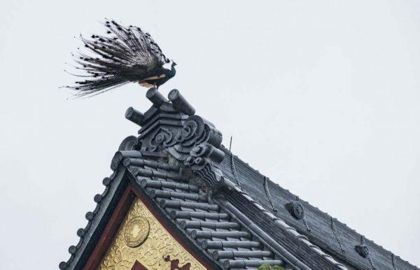 姿態霸氣十足 「鳳凰」飛上日本樂法寺