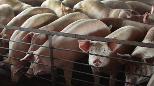 大陆非洲猪瘟肆虐 母猪死亡量是官方数字两倍
