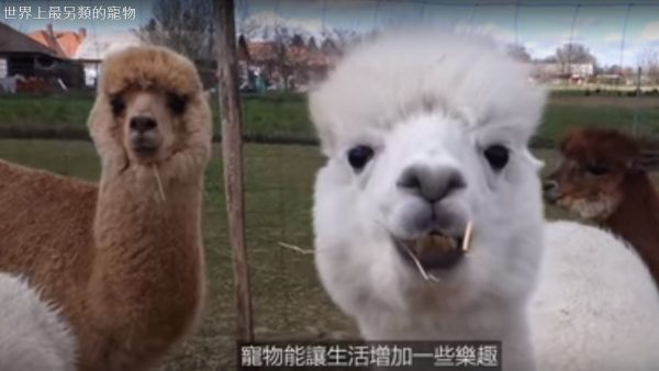 世界上最另类的宠物 冲浪羊驼(视频)
