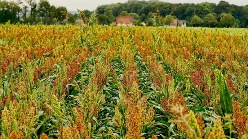 耍手腕? 中共买美国5万吨高粱退1万吨大豆