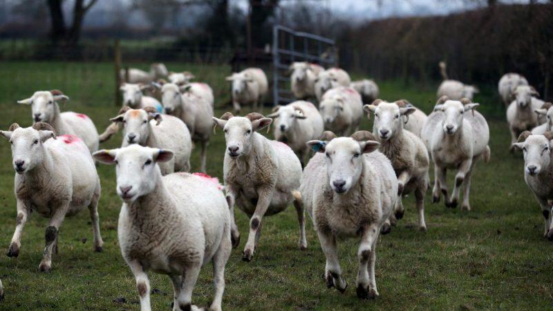 大陸羊奶價大跌 奶羊被當肉羊賣