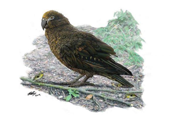 新西蘭發現史前巨型鸚鵡 如人類幼童大小
