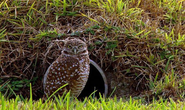 惊人洞察力!穴鸮1秒发现被偷拍 暴打摄影机(视频)