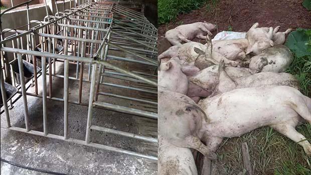 中共首认猪肉供应危机 强制各省市分配养猪任务