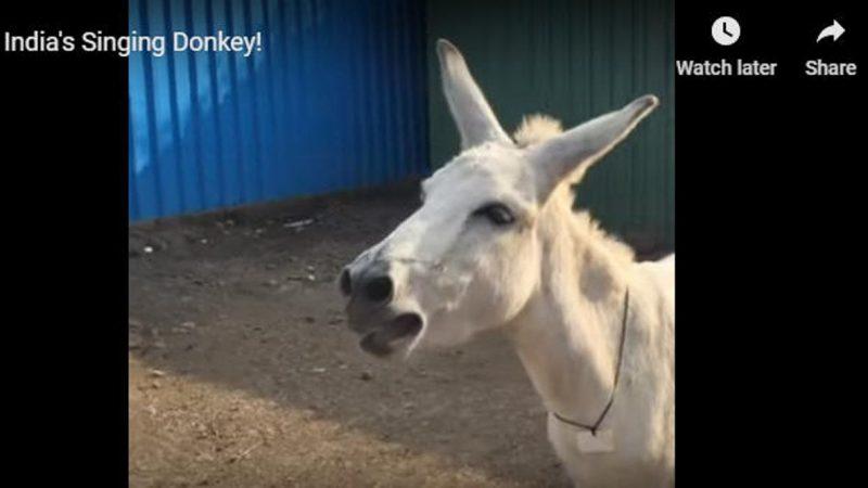 另类网红!印度母驴爱唱家乡调视频疯传(视频)