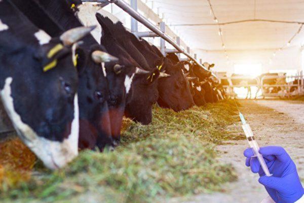 牛場大量使用抗生素致超級細菌在人類爆發