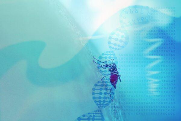 利用转基因灭蚊实验带来难料后果