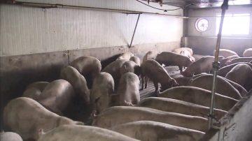 韩国发生首例非洲猪瘟 携猪肉品入境台湾最少罚20万