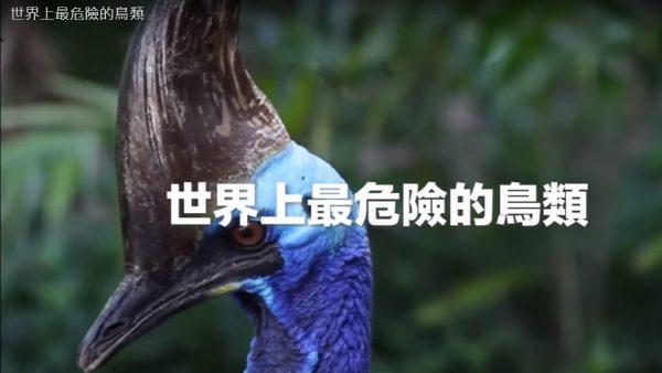 世界上最危險的鳥類 食火雞(視頻)