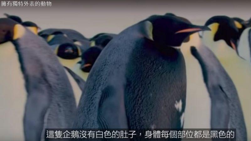 拥有独特外表的动物 全黑企鹅(视频)