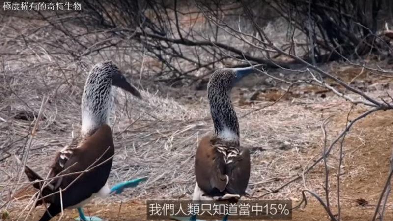 极度稀有的奇特生物 蓝脚鲣鸟(视频)