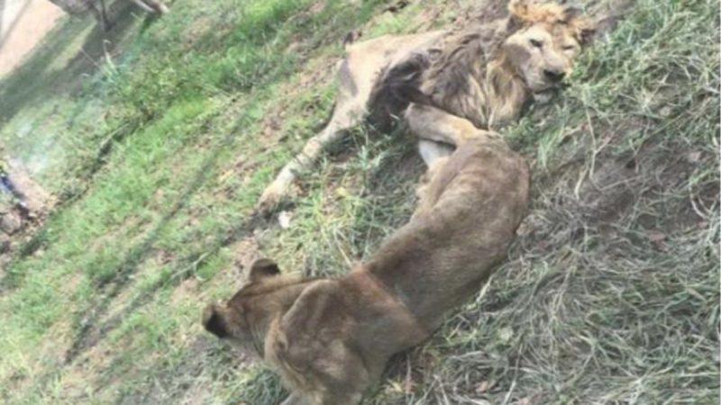 没肉吃?  动物园狮子瘦到皮包骨