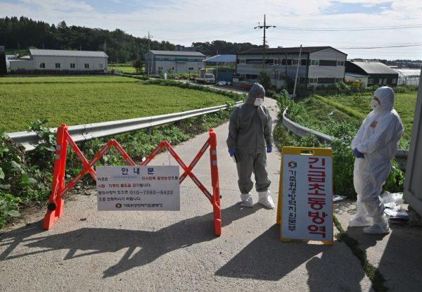 爆發非洲豬瘟 韓國1天內撲殺近4千頭豬