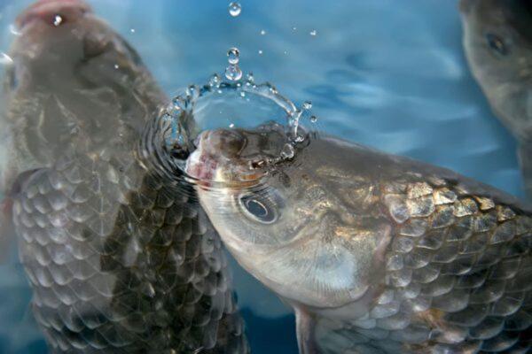 研究:鱼类的痛感与哺乳动物几乎完全一样