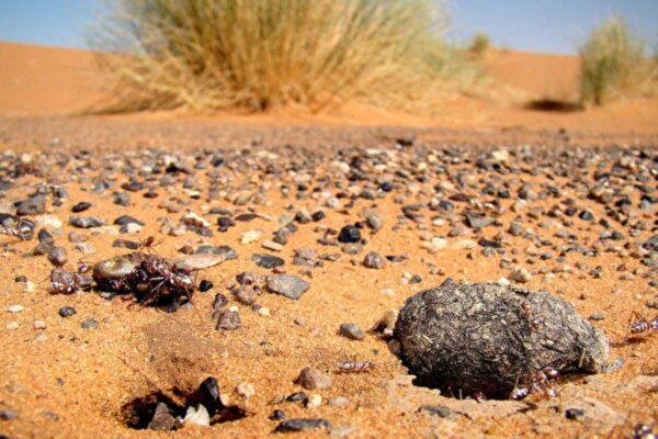 一種小螞蟻是飛毛腿 「閃電」博爾特比不上