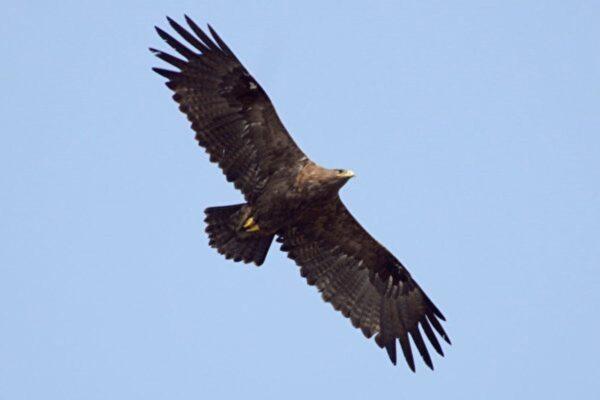 趣聞:研究老鷹遷徙讓科學家破產