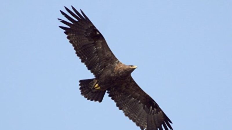 趣闻:研究老鹰迁徙让科学家破产