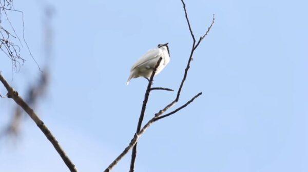 世界上最吵的鳥在巴西 叫聲高達125.4分貝