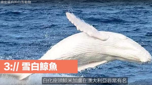 极度稀有的动物 雪白鲸鱼(视频)