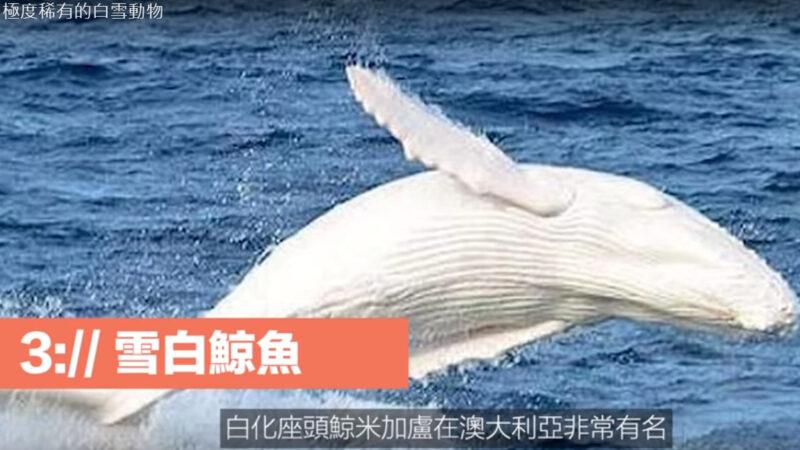 極度稀有的動物 雪白鯨魚(視頻)