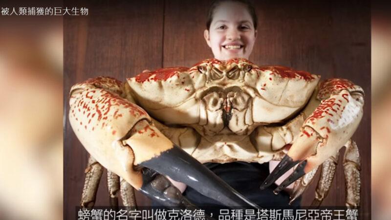 被人類捕獲的巨大生物 螃蟹克洛德(視頻)