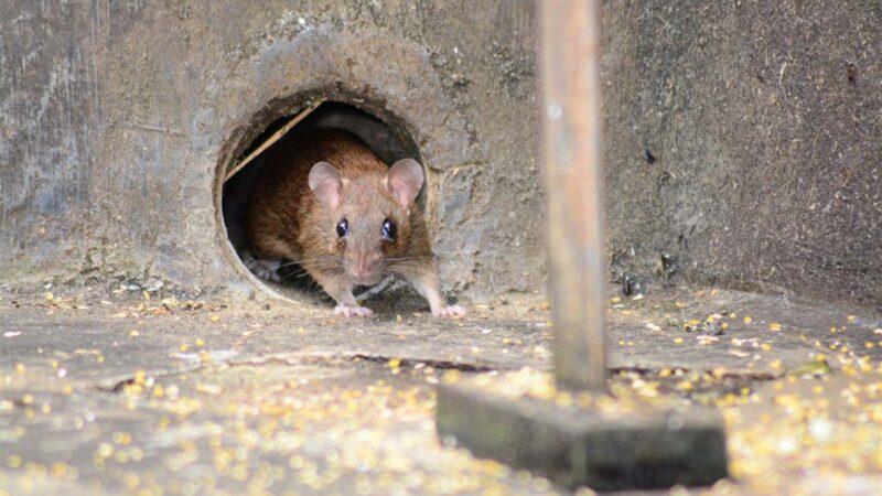 內蒙鼠疫患者轉院5次才確診 當地鼠患成災政府無作為