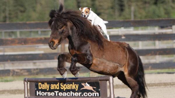这只美国小狗会骑马 帅气得很(视频)